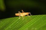Grasshopper -- sabah_2661