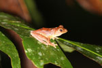 Rhacophorus pardalis tree frog -- sabah_2662