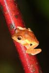 Frog -- sabah_2672