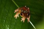 Frog -- sabah_2674