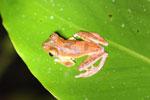 Rhacophorus pardalis tree frog -- sabah_2682