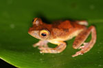 Rhacophorus pardalis tree frog -- sabah_2683