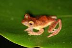 Rhacophorus pardalis tree frog -- sabah_2686