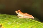 Rhacophorus pardalis tree frog -- sabah_2692