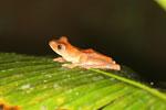 Rhacophorus pardalis tree frog -- sabah_2693