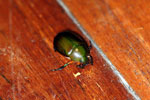 Jewel beetle -- sabah_2721
