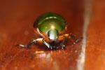 Jewel beetle -- sabah_2724