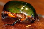 Jewel beetle -- sabah_2729