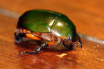 Jewel beetle -- sabah_2730