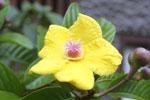 Yellow hibiscis flower