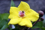 Yellow hibiscis flower -- sabah_2734