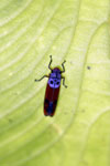 Purple and orange planthopper