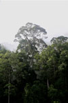 Danum Valley rainforest -- sabah_2781