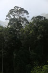 Danum Valley rainforest -- sabah_2782