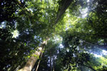 Borneo rainforest canopy