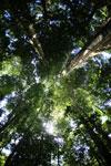 Borneo rainforest canopy -- sabah_2808