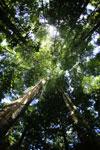 Borneo rainforest canopy -- sabah_2810