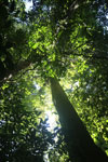 Rainforest tree in Sabah -- sabah_2819
