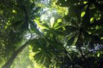 Borneo rainforest -- sabah_2821