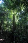 Borneo rainforest -- sabah_2826