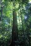 Borneo rainforest -- sabah_2827