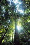Borneo rainforest -- sabah_2828