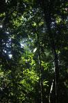 Borneo rainforest -- sabah_2829