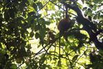 Red leaf monkey -- sabah_2832