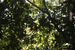 Red leaf monkey -- sabah_2833