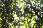 Red leaf monkey -- sabah_2835
