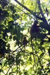 Red leaf monkey -- sabah_2836