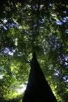 Rainforest tree in Sabah -- sabah_2841