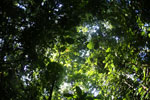 Borneo rainforest -- sabah_2863
