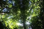 Borneo rainforest -- sabah_2884