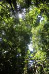 Borneo rainforest -- sabah_2885