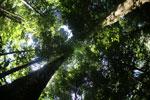 Borneo rainforest -- sabah_2886