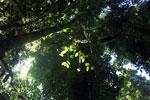 Borneo rainforest -- sabah_2897