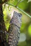 Horned Forest Dragon