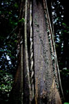 Rainforest tree with lianas -- sabah_2920