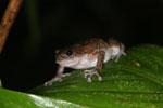 Unidentified frog -- sabah_2959