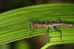 Stick insect -- sabah_2968