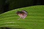 Unidentified frog -- sabah_2972