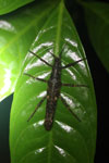 Stick insect -- sabah_2978