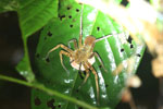 Spider with eggs