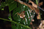 Spider with eggs -- sabah_2991