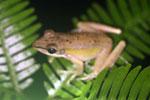 Unidentified frog -- sabah_3012