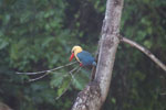 Stork-billed Kingfisher (Pelargopsis capensis) -- sabah_3029