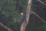 Stork-billed Kingfisher (Pelargopsis capensis) in Borneo -- sabah_3030
