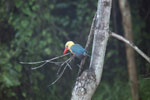 Stork-billed Kingfisher (Pelargopsis capensis) along the Kinabatangan River