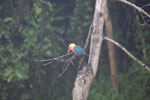 Stork-billed Kingfisher -- sabah_3032